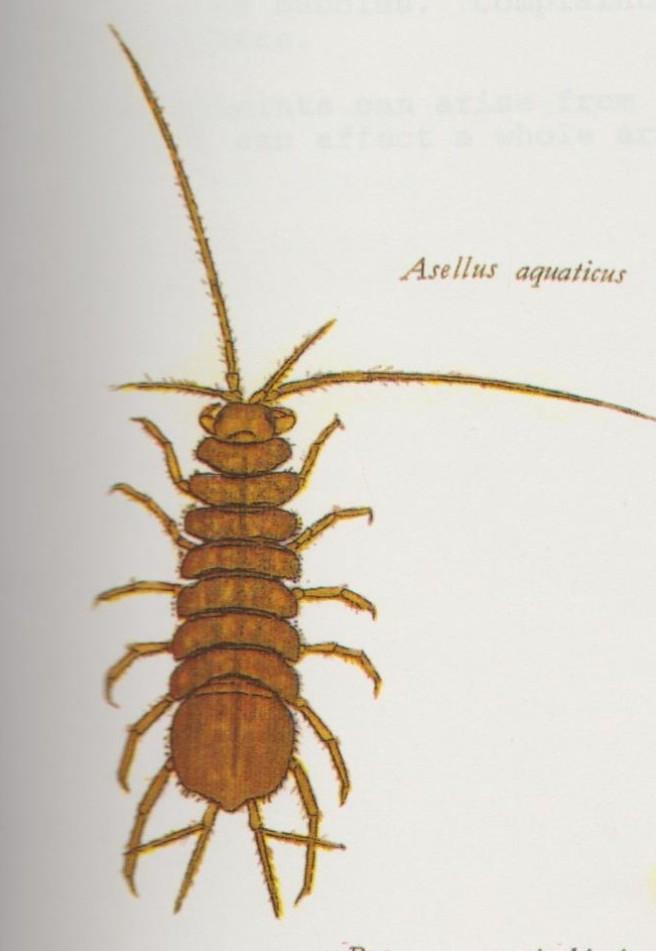 Assellus 001