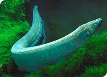 BC Electric eel