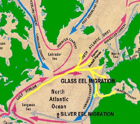 C8 eel migration