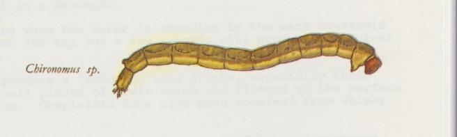 Chironomid Larva 001 (2)