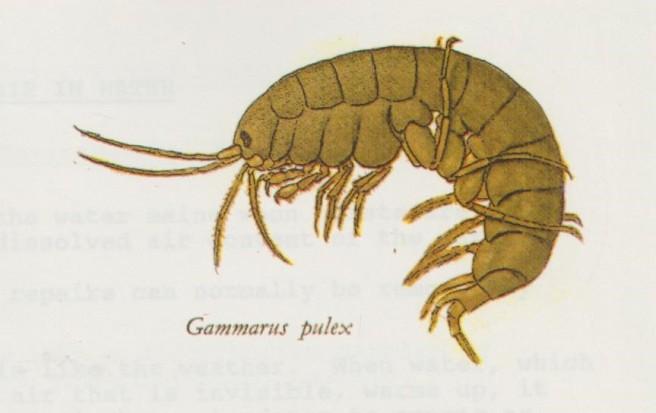 Gammarus 001