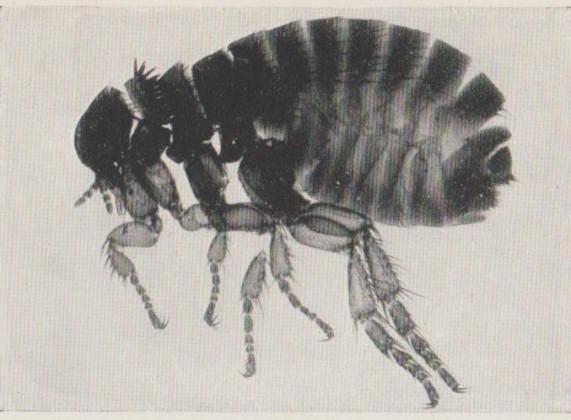 Human Flea F 001