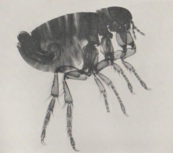 Human Flea M 001