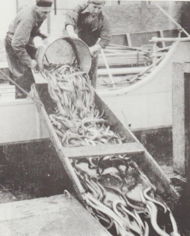 Unloading eels 001